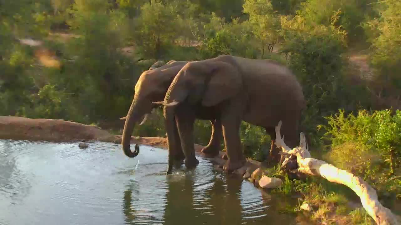 VIDEO:Elephants drinking water