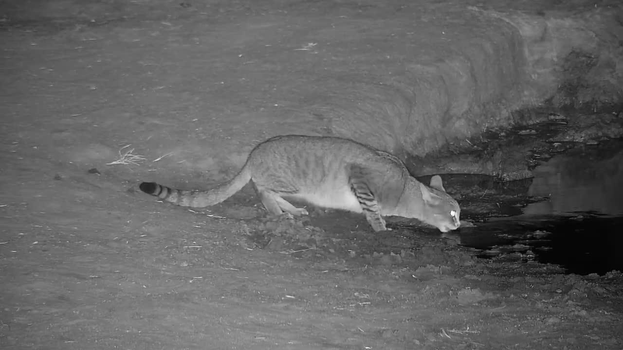 VIDEO: African Wildcat having a drink