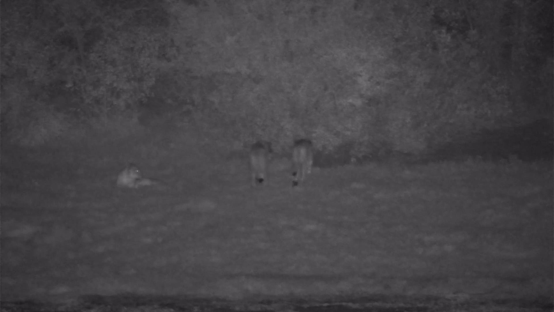 VIDEO: Lions resting and walking suddenly in the thicket