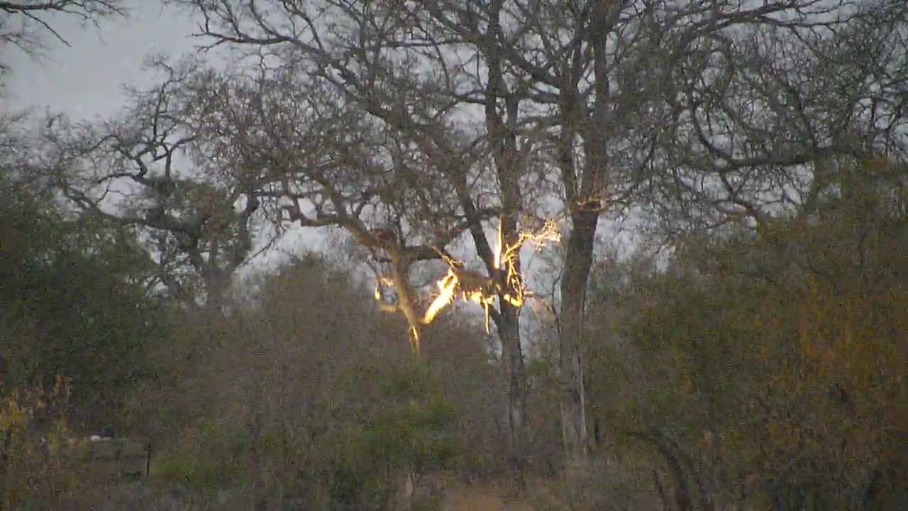 VIDEO:Distant Leopard lit up in the tree by trackers spot lights early this morning