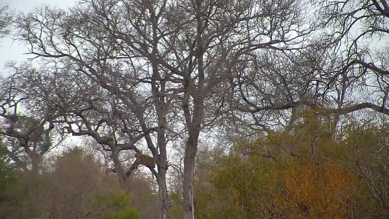 VIDEO: Leopard in the tree in daylight in the distance