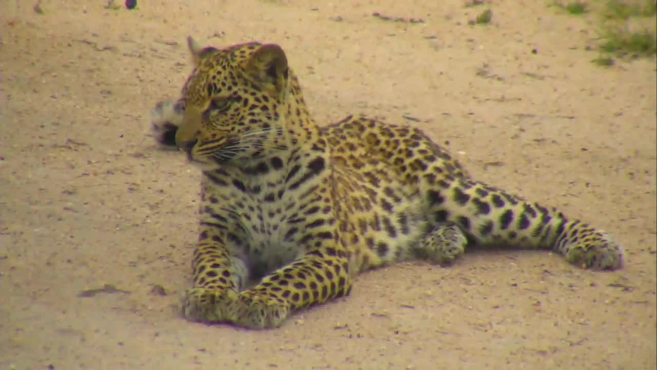 VIDEO: Leopard resting, but very attentive