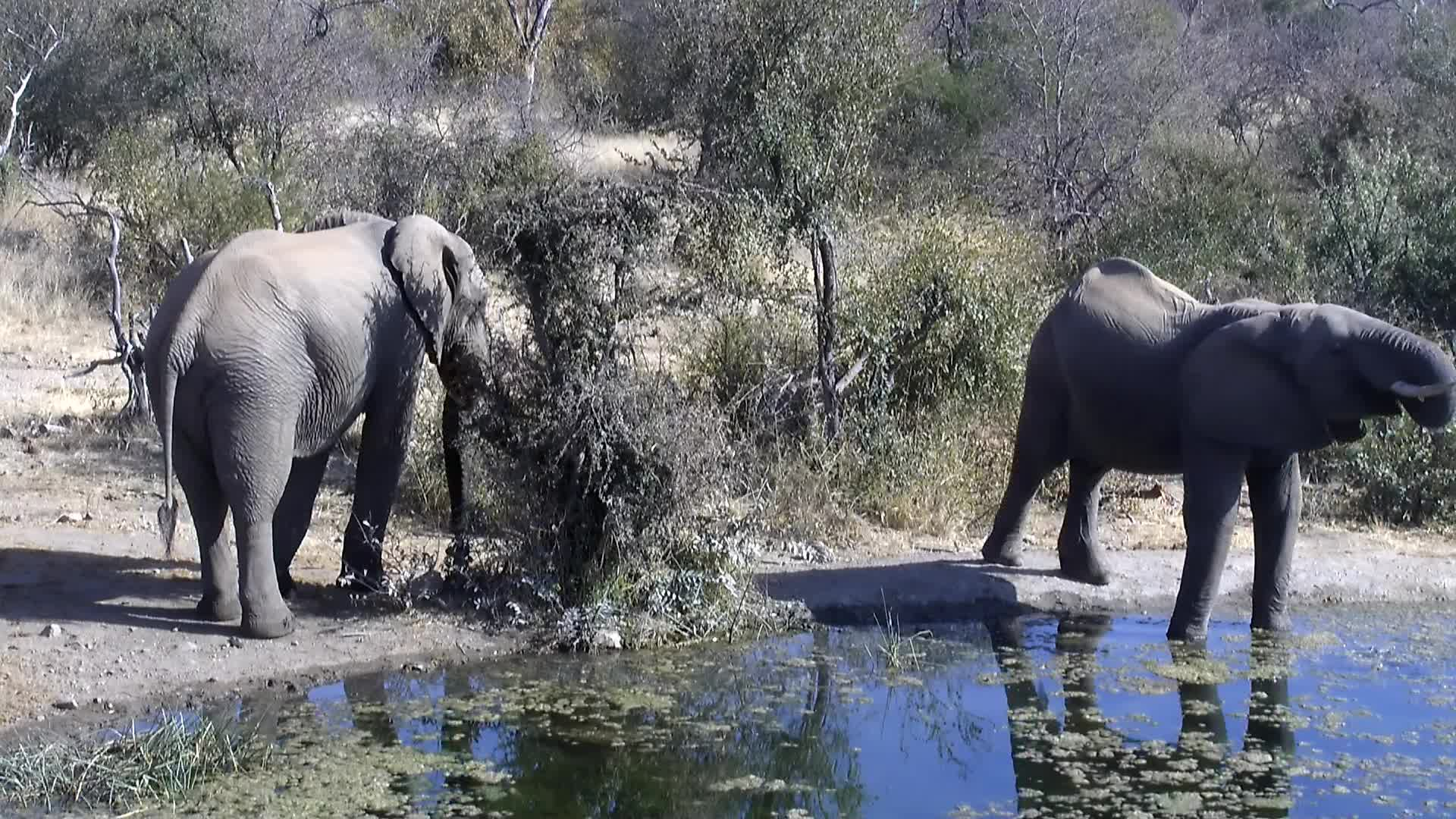VIDEO: Elephant drinking at pan