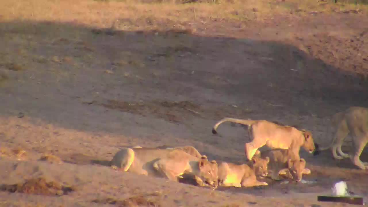 VIDEO: Lions - adult and youngs came for an extencive drink to the waterhole.