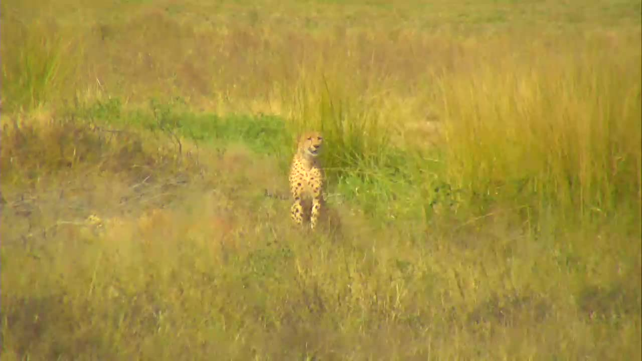 VIDEO:Two Cheetahs relaxing in the area (no audio)