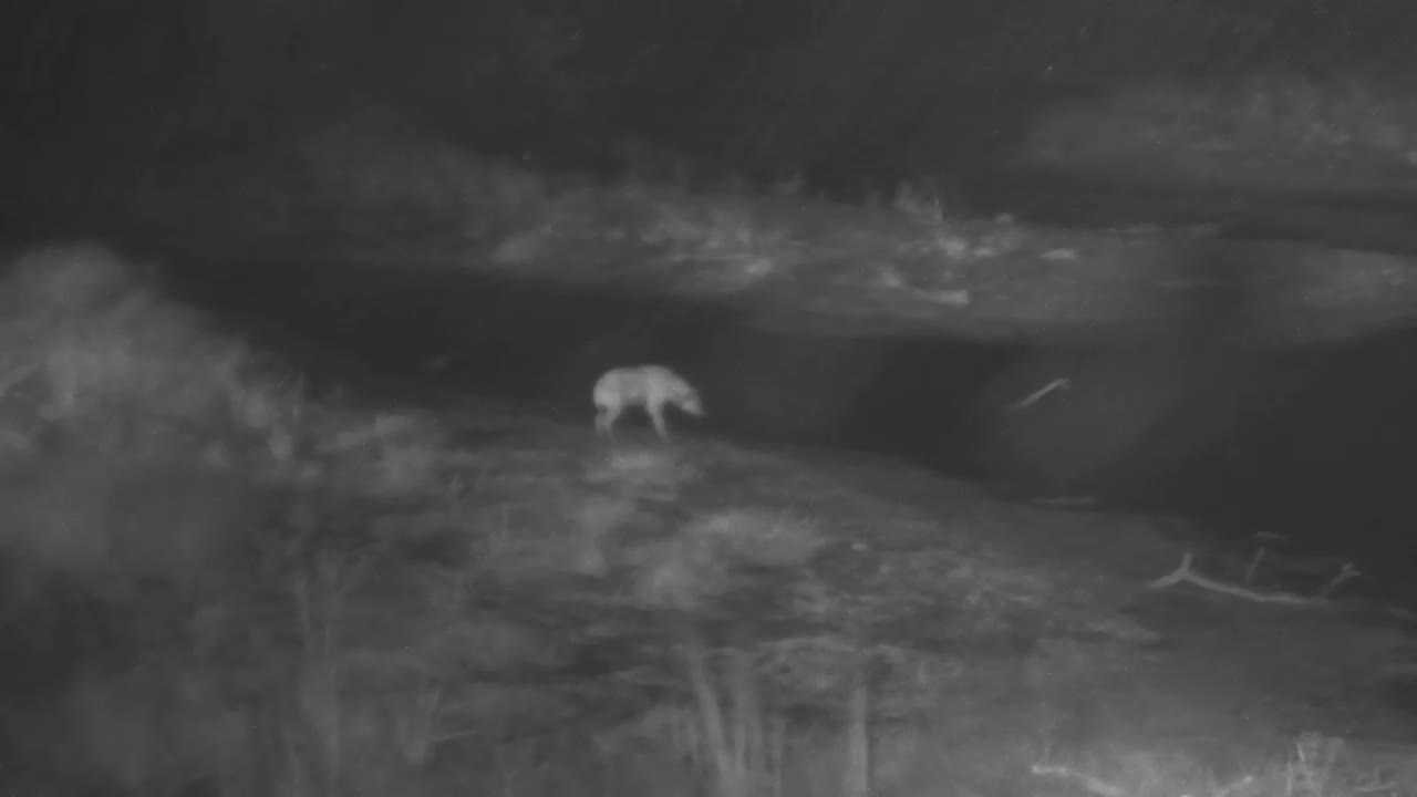 VIDEO:  In the pouring rain, a HYAENA looks around