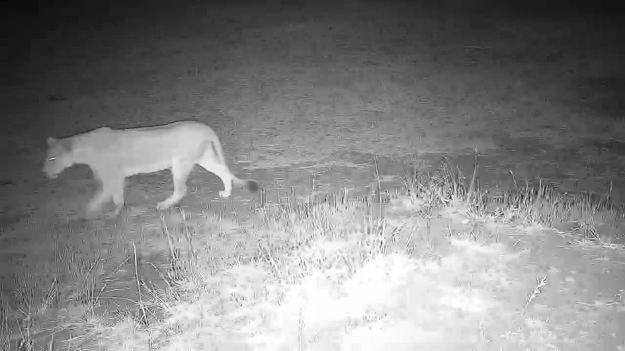 VIDEO: Lions walk past the waterhole and camera.
