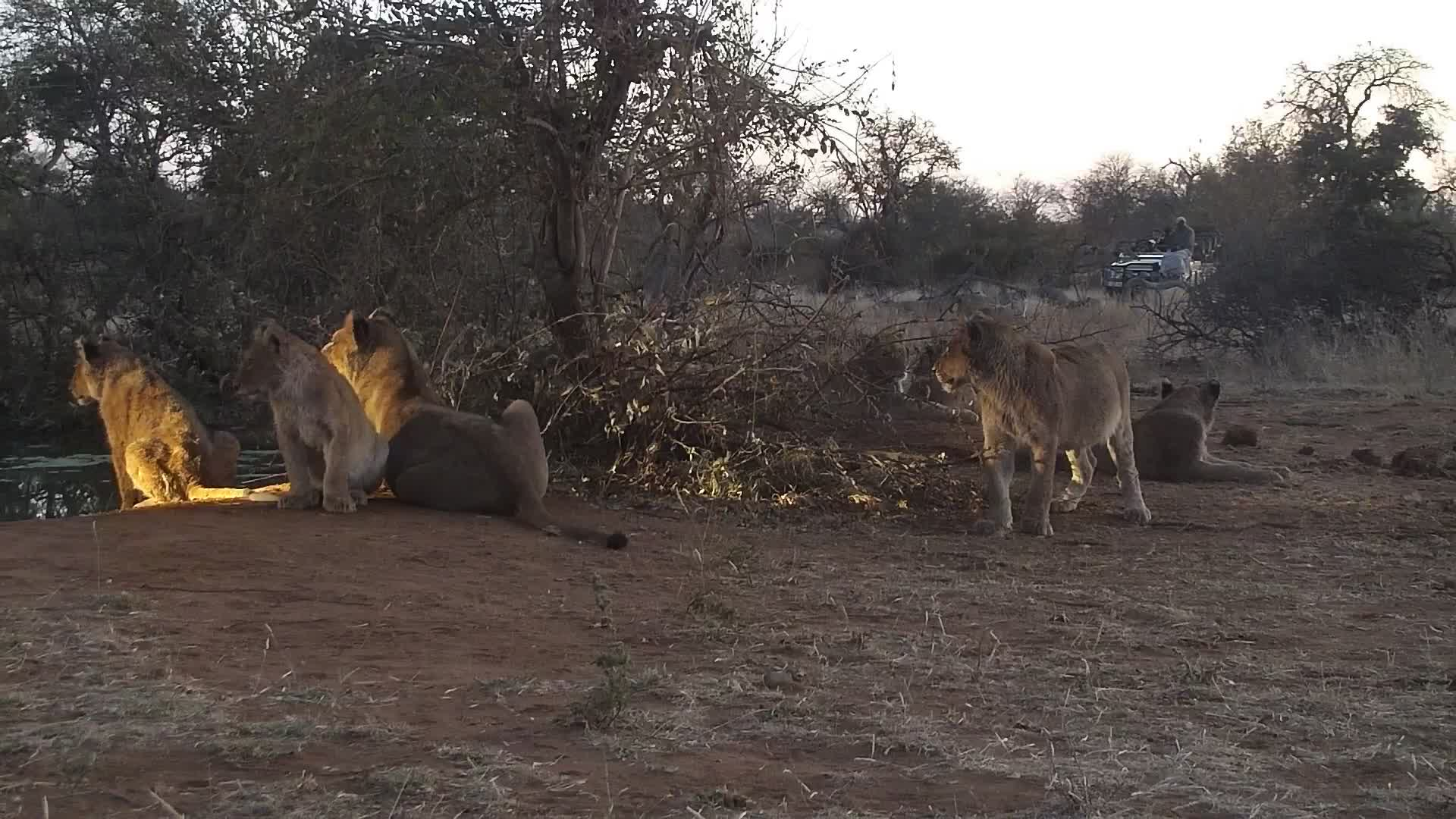VIDEO: Lion pride at the waterhole with young