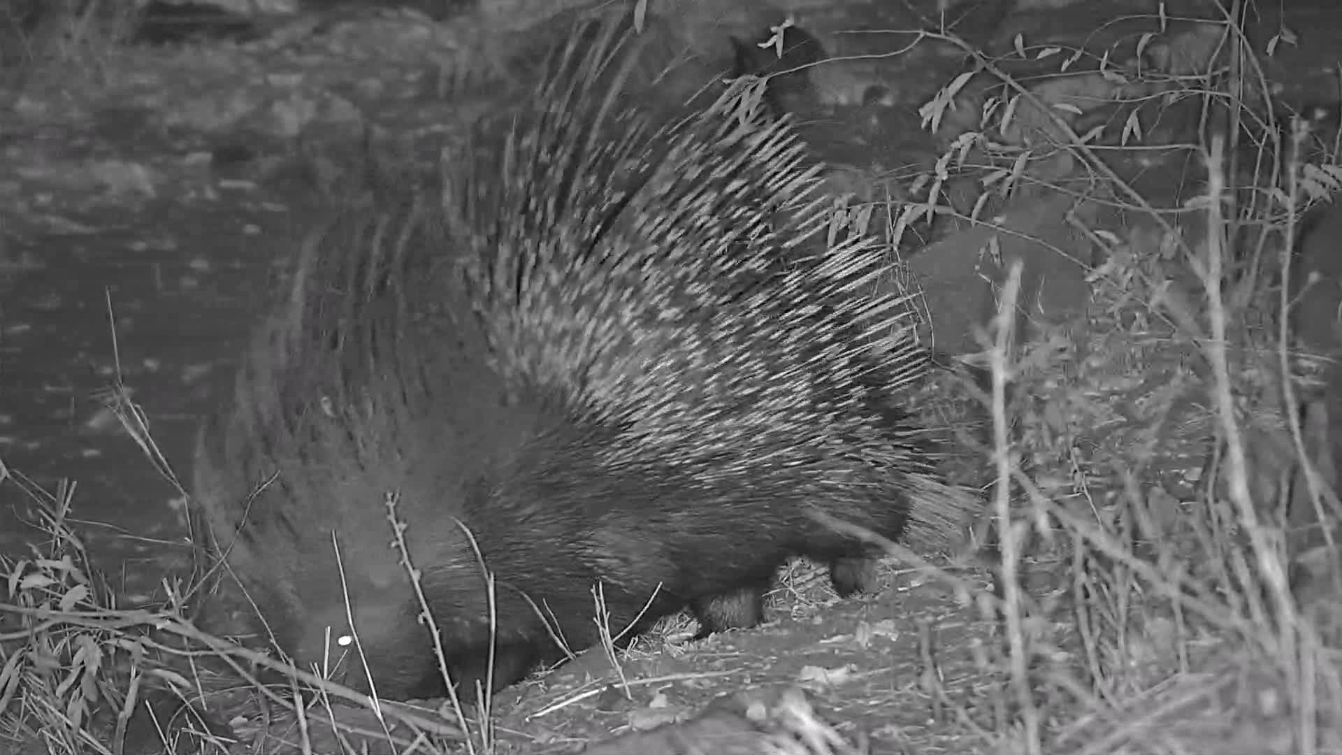 VIDEO: Porcupine foraging  for food