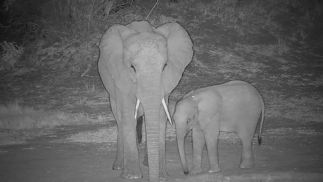 VIDEO: Elephant with very young calf suckling