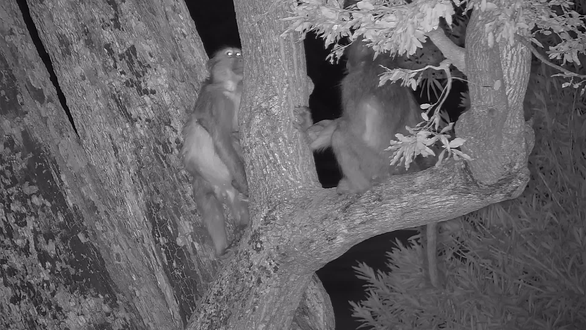 VIDEO:  Baboon mom and baby sitting in the tree waiting for nightfall
