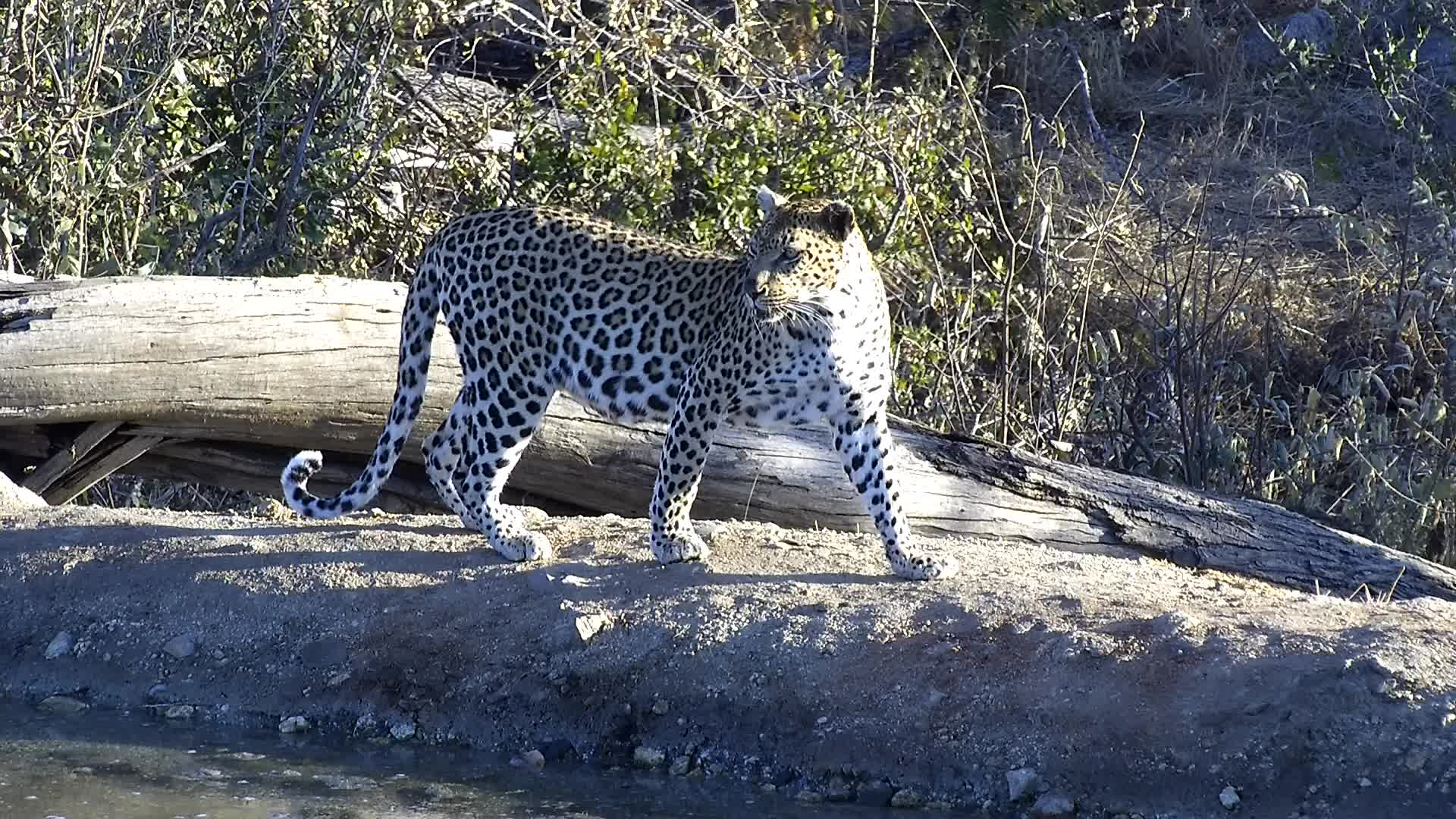 VIDEO: Leopard at the Waterhole for a drink