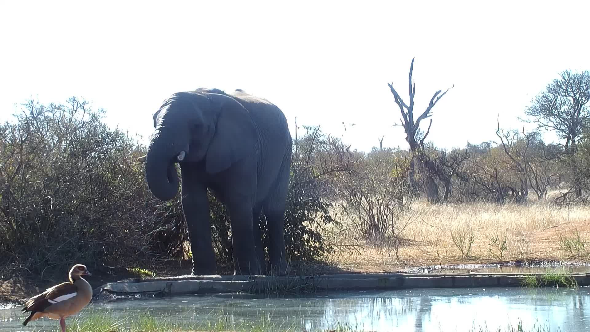 VIDEO:  Elephant drinking and playing with the water