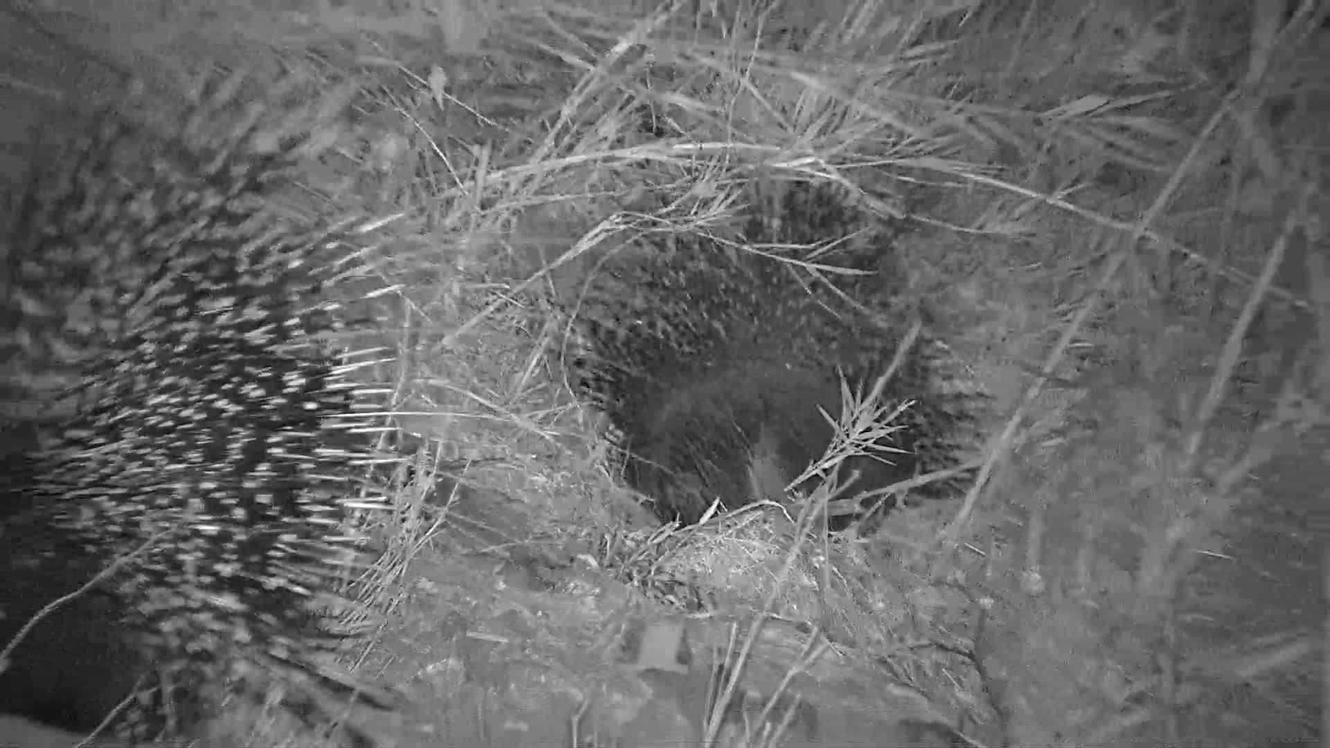 VIDEO: Porcupines looking for food