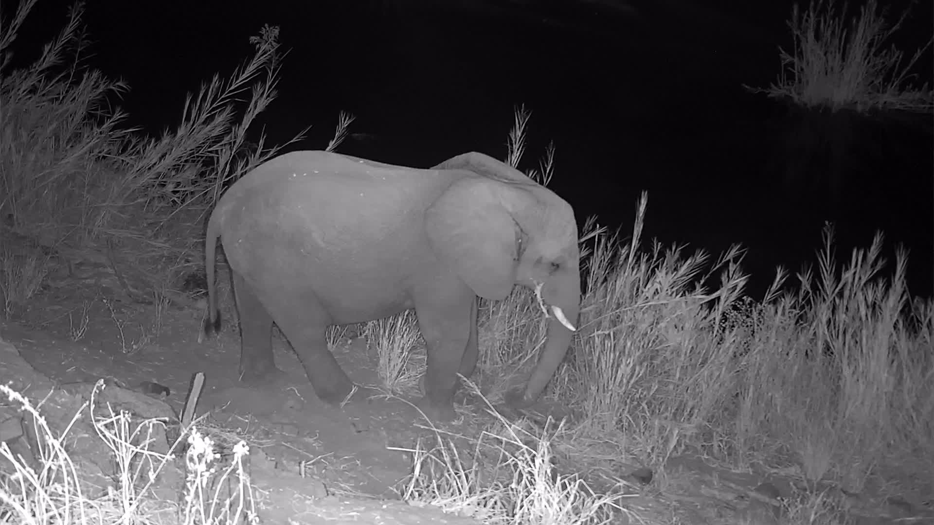 VIDEO: Elephant enjoys the grass at the path under the camera
