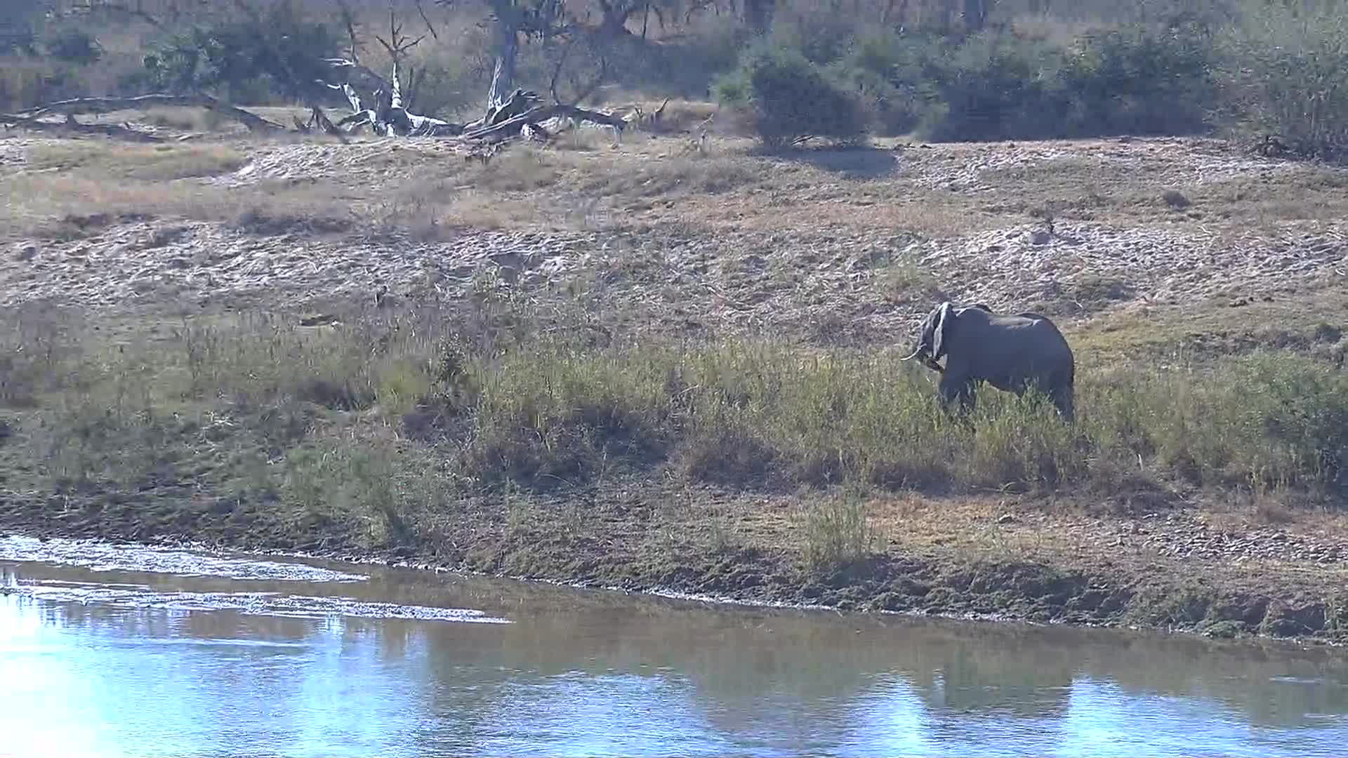 VIDEO:  Elephant walking on the river bank