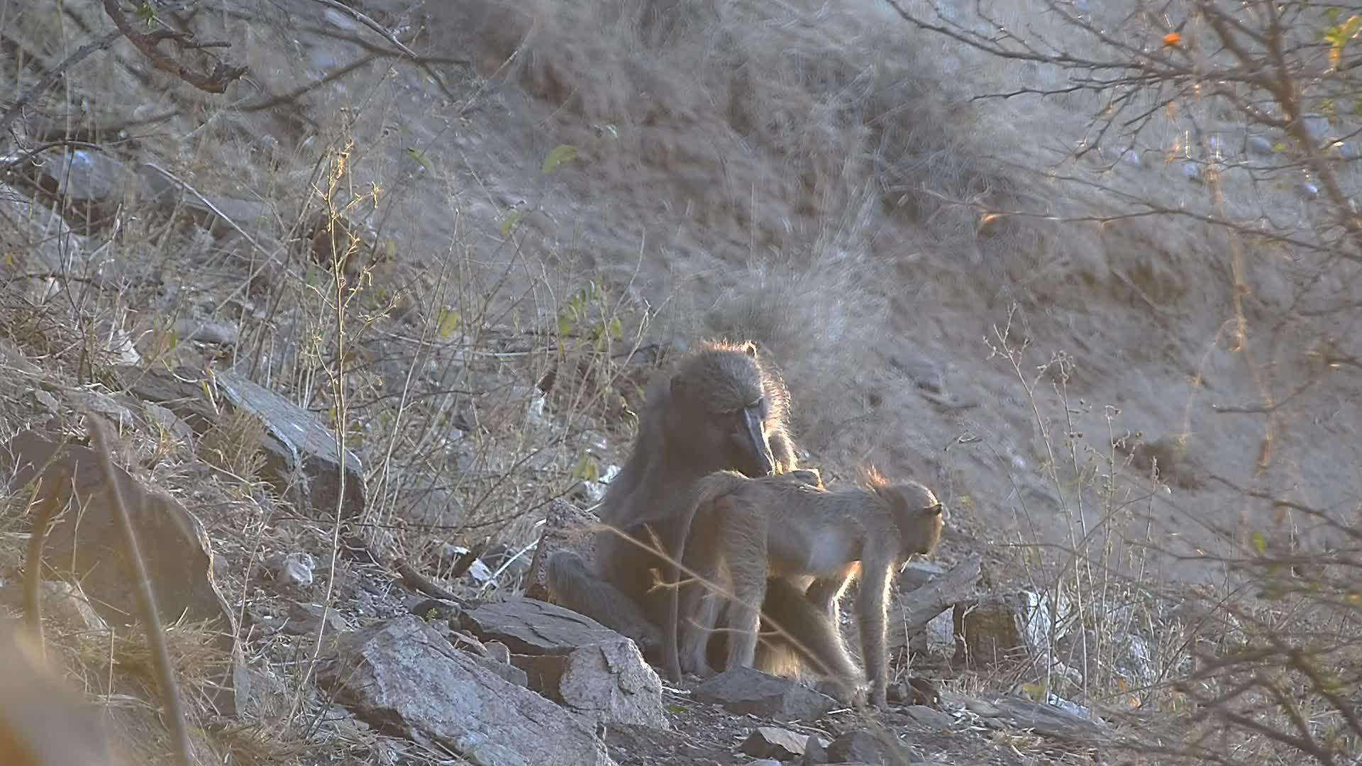 VIDEO: Baboons grooming in the last sun rays