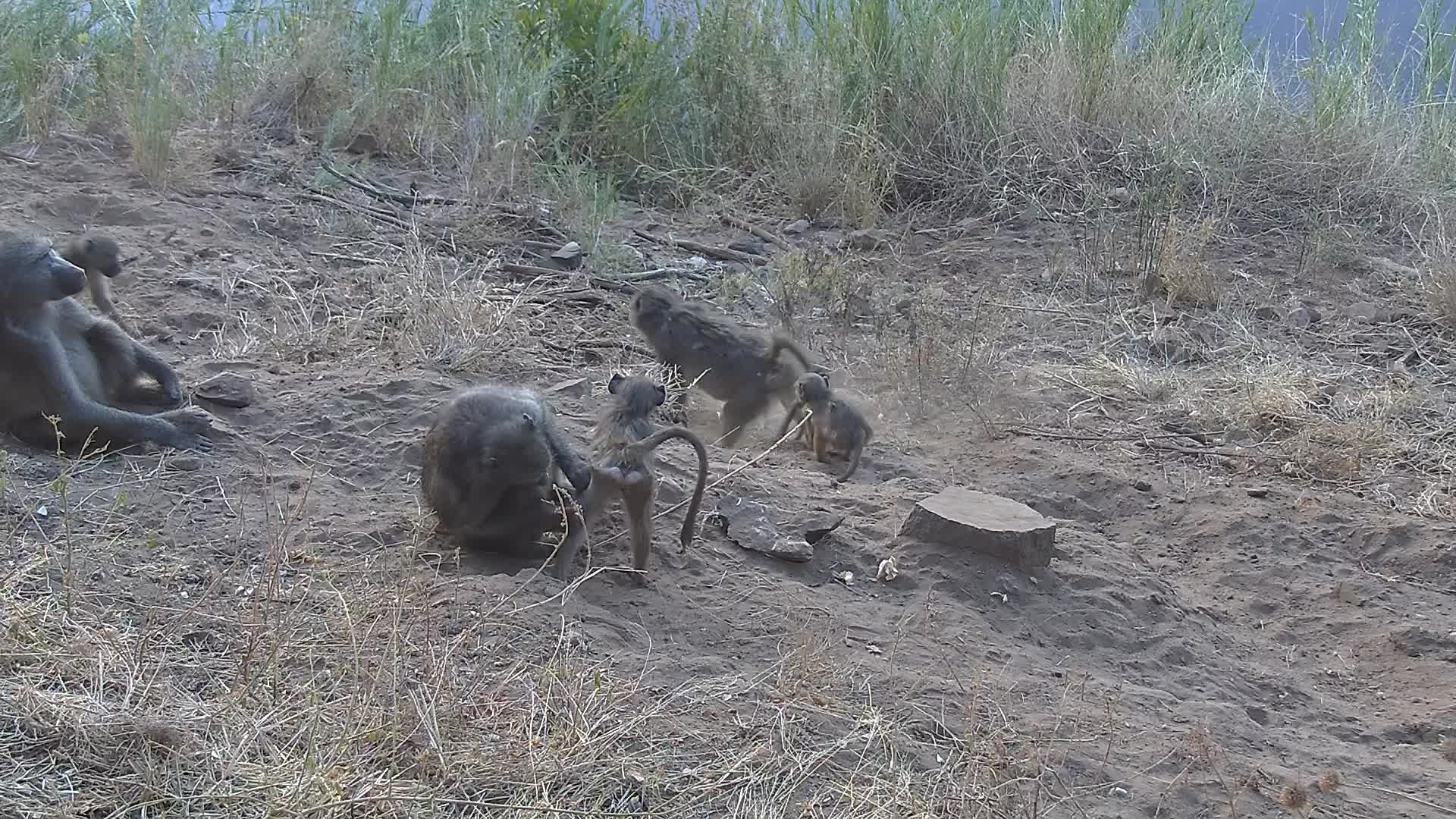 VIDEO: Baboons grooming and the young ones are playing