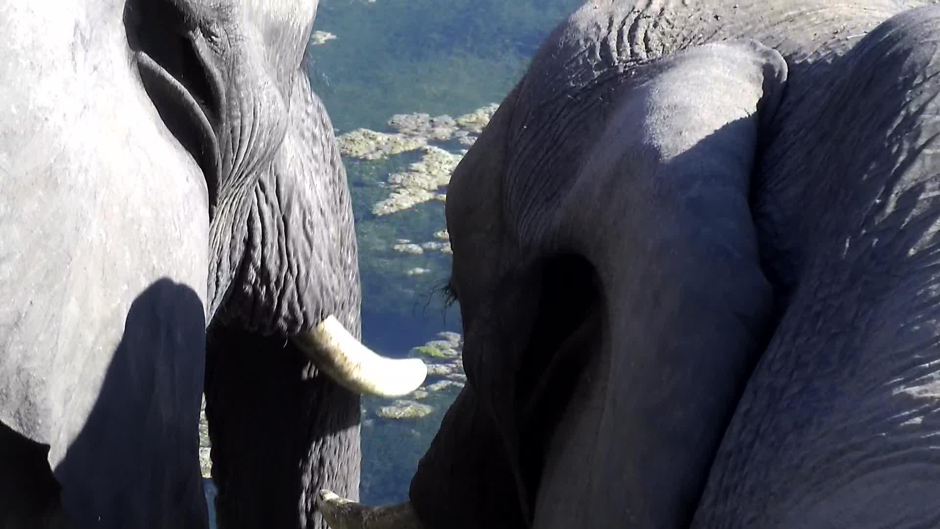 VIDEO: Elephants up close
