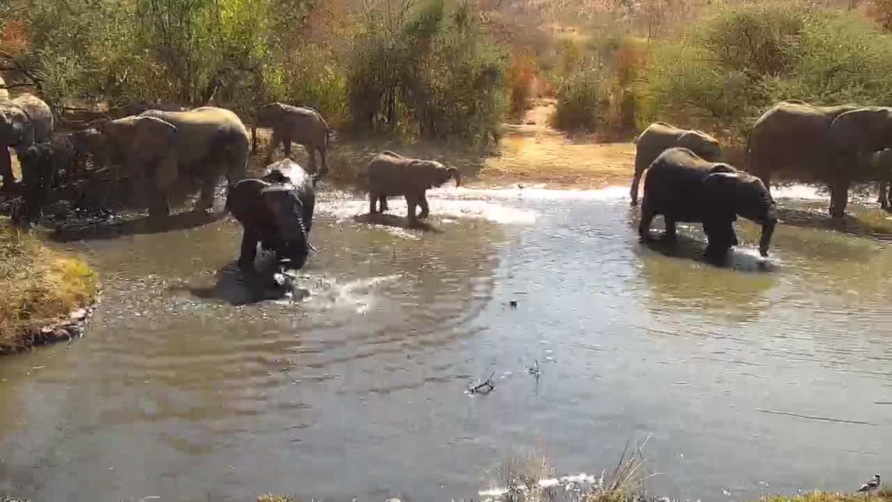 VIDEO: Breeding Herd of Elephants cooling off in the pond