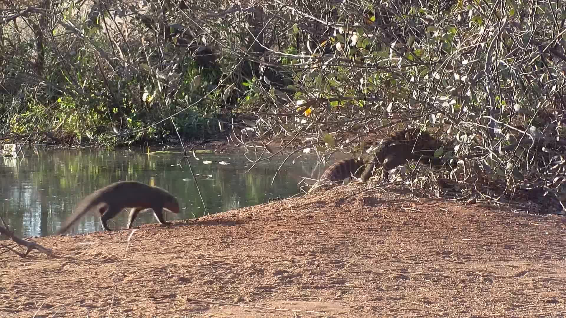 VIDEO: Banded Mongoose pack, foraging