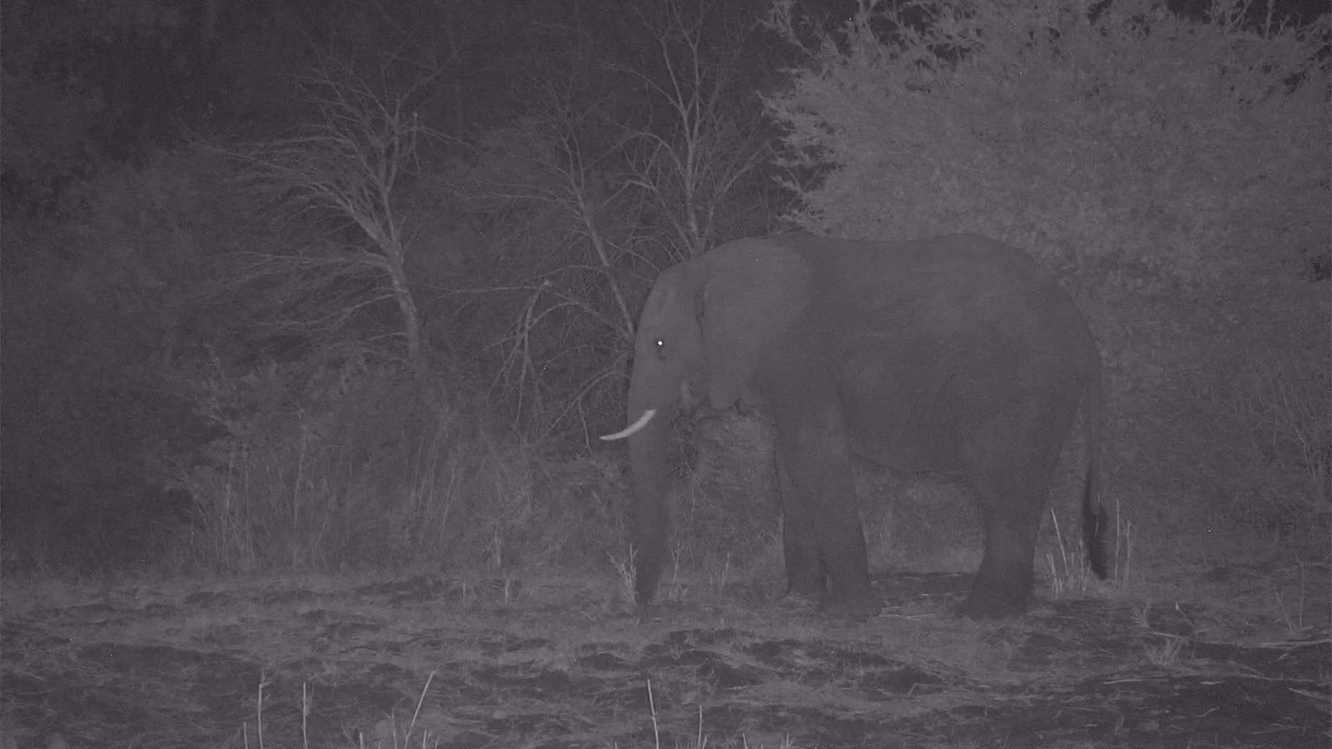 VIDEO: Elephant digs for roots