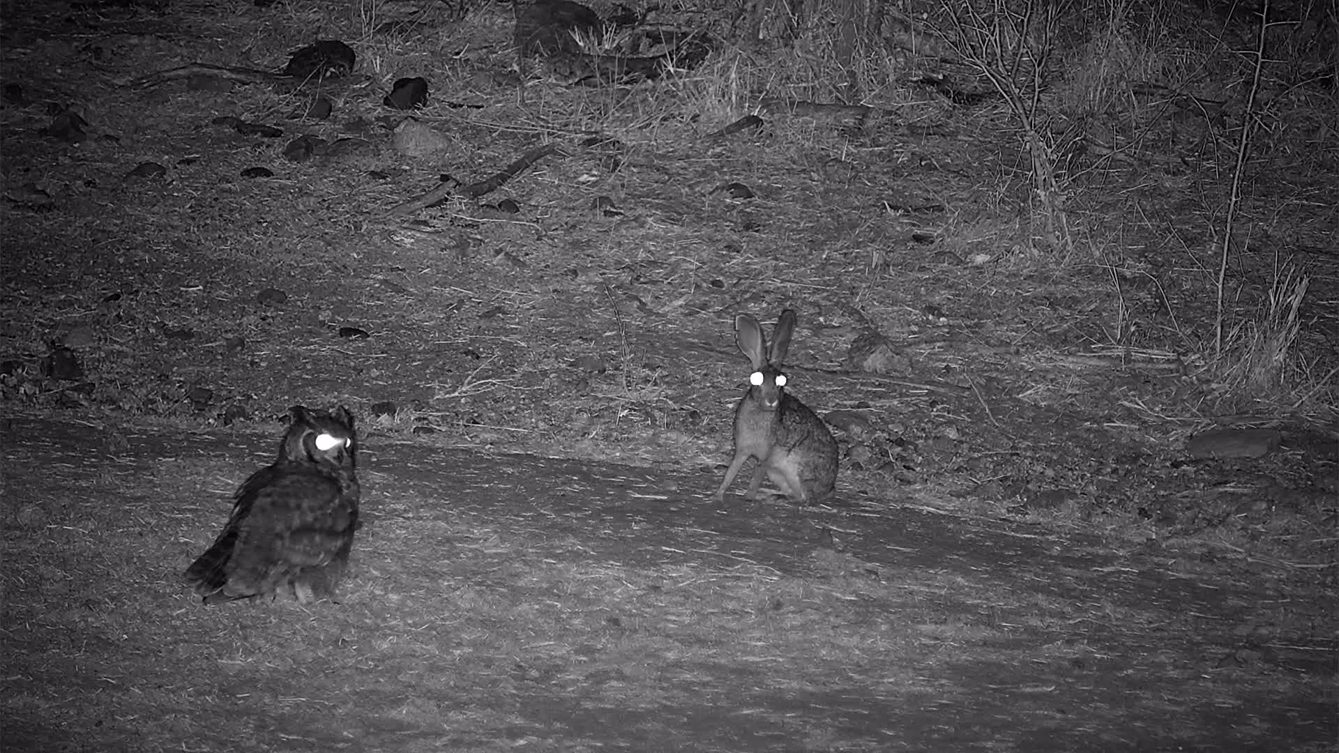VIDEO: Spotted Eagle Owl and Scrub Hare face off