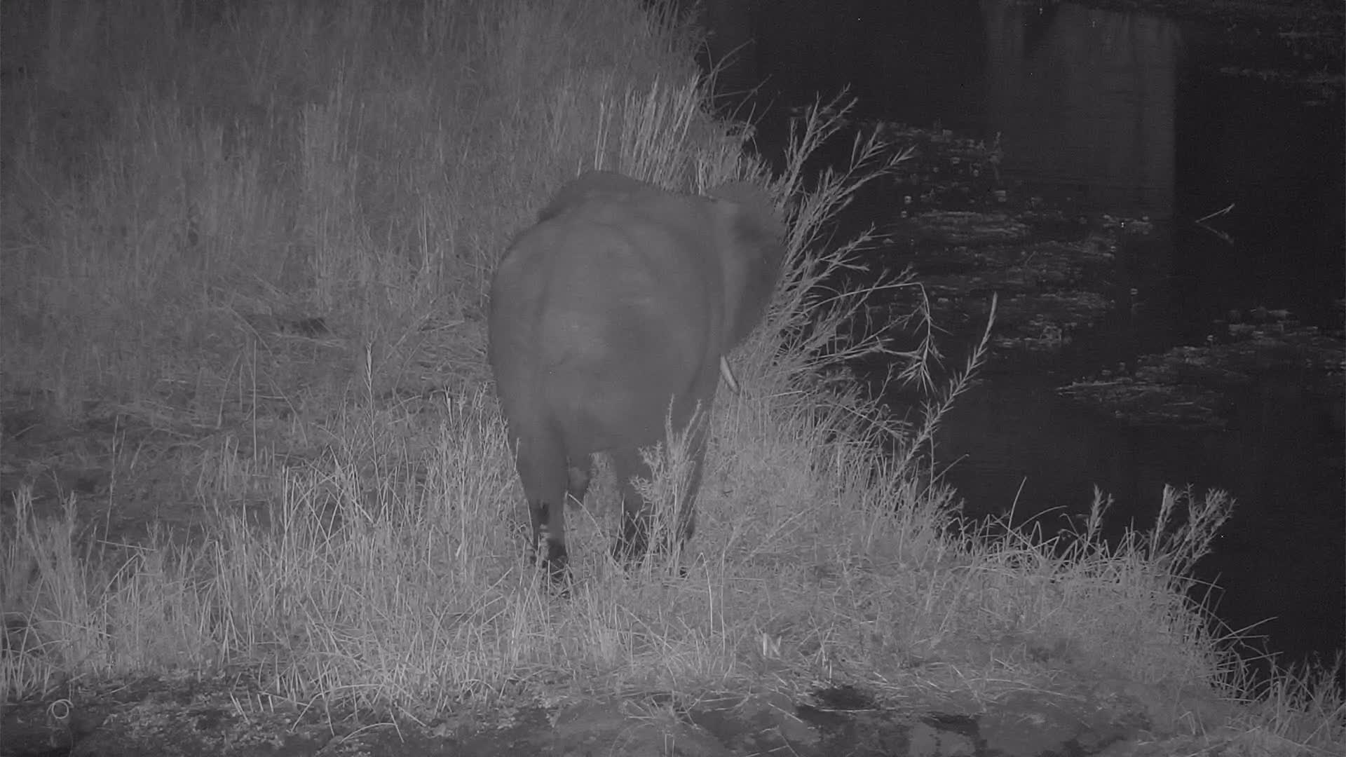 VIDEO: Elephant came to the Island to eat the reed