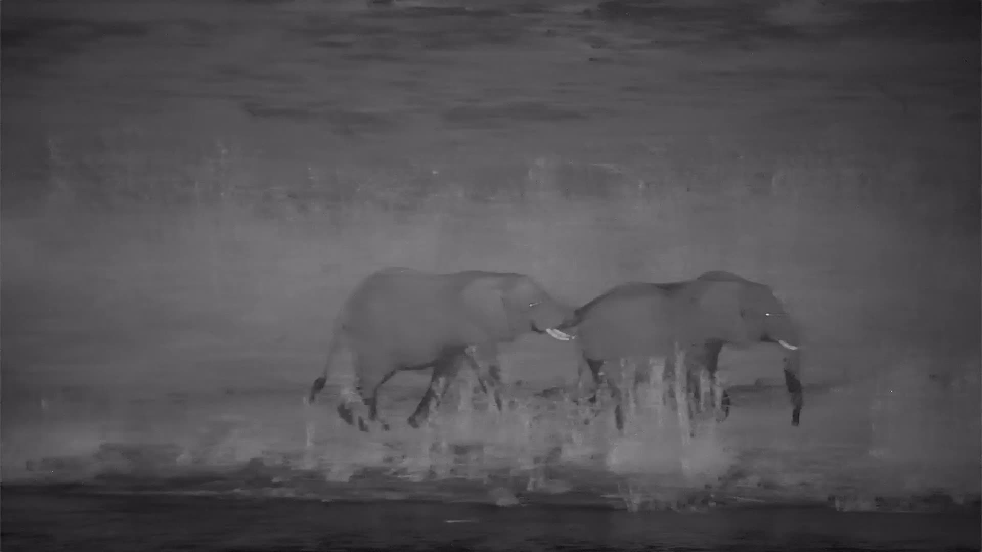 VIDEO: Young Elephants Bull wrangling and pushing each other