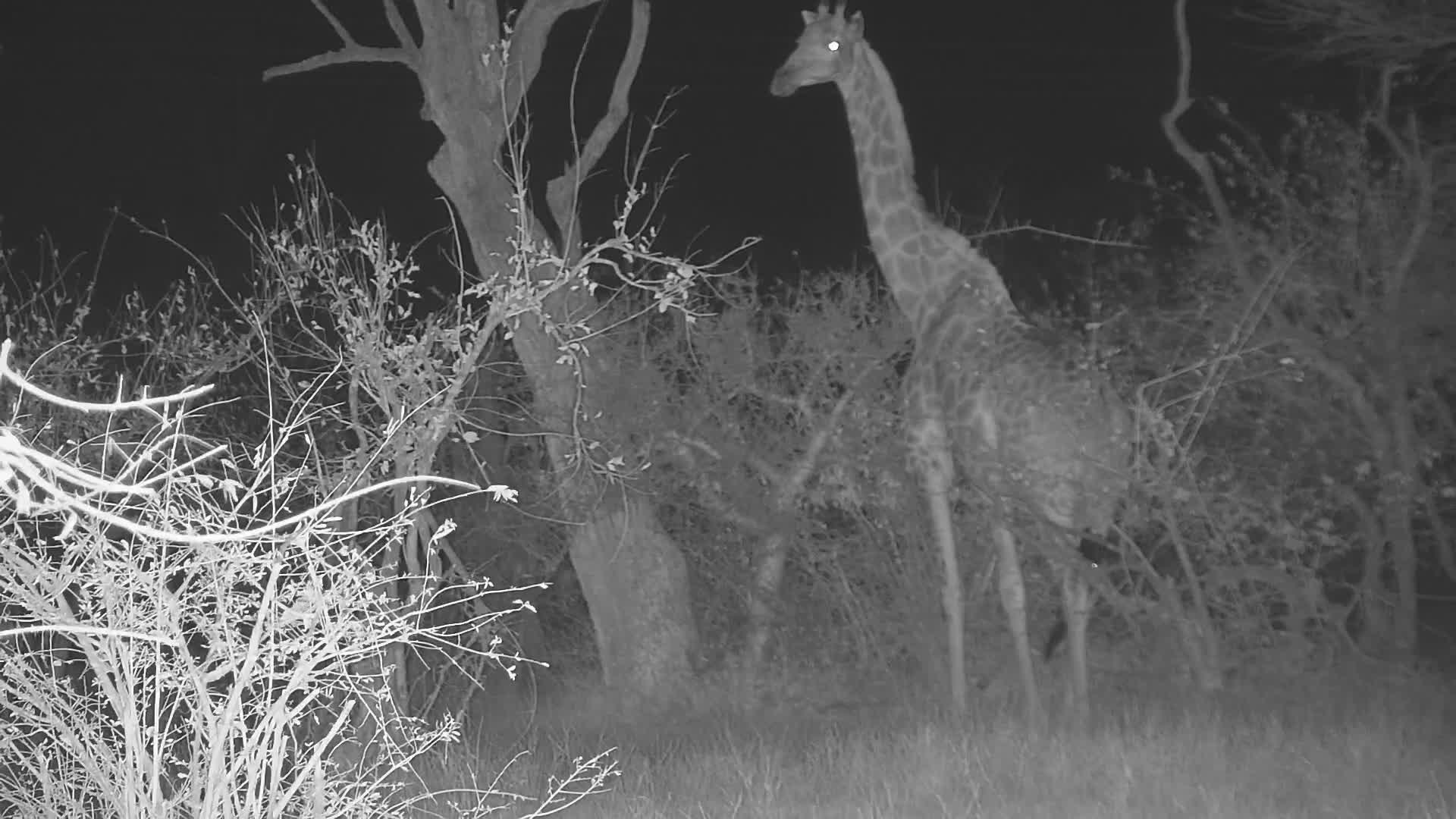 VIDEO: Giraffe and friend