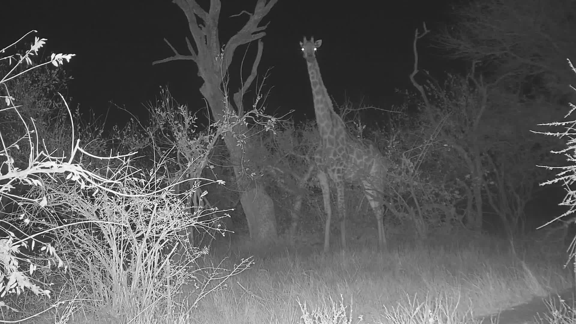 VIDEO: Giraffe close up at pan