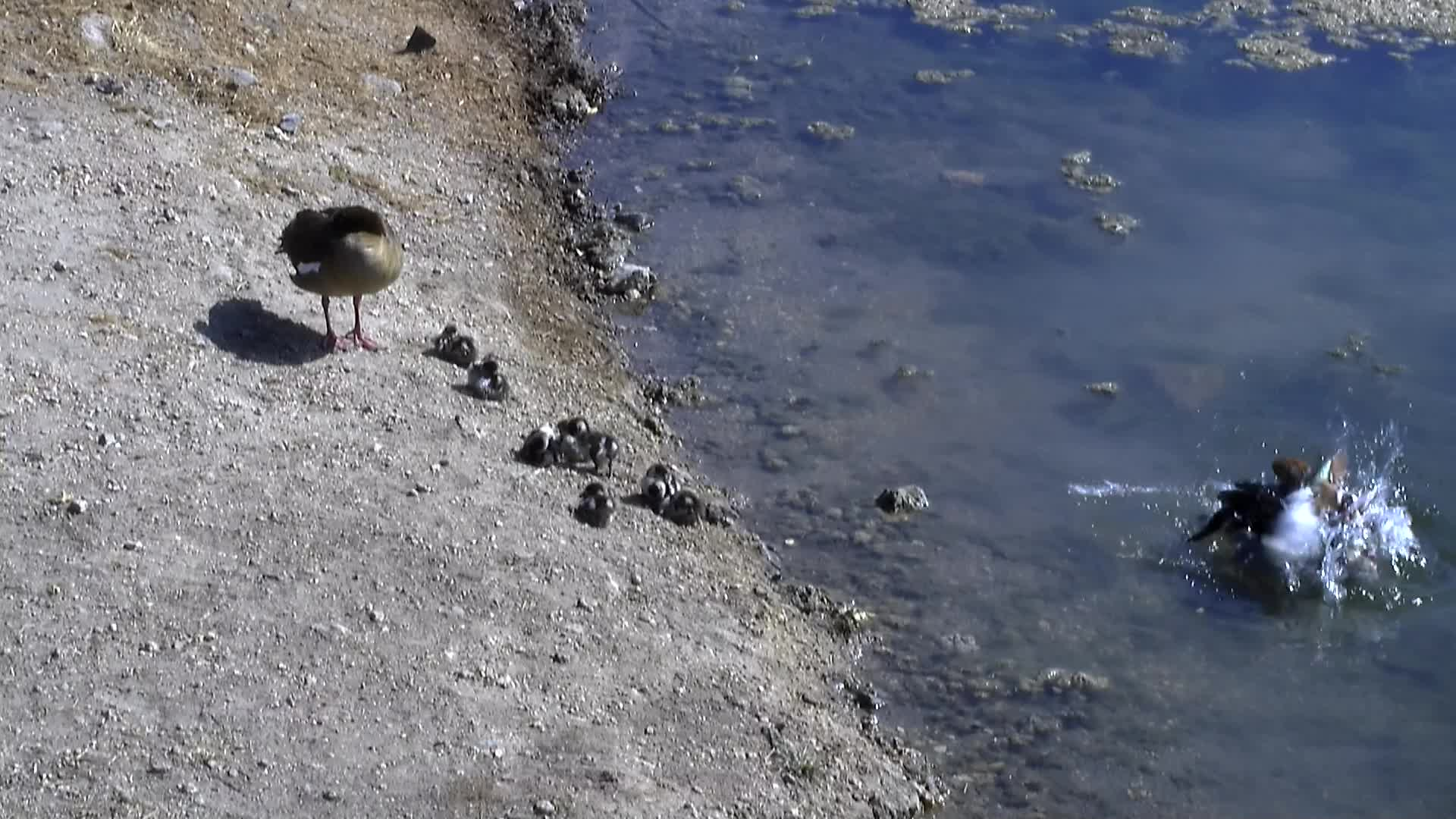 VIDEO: Egyptian Geese with 8 Goslings