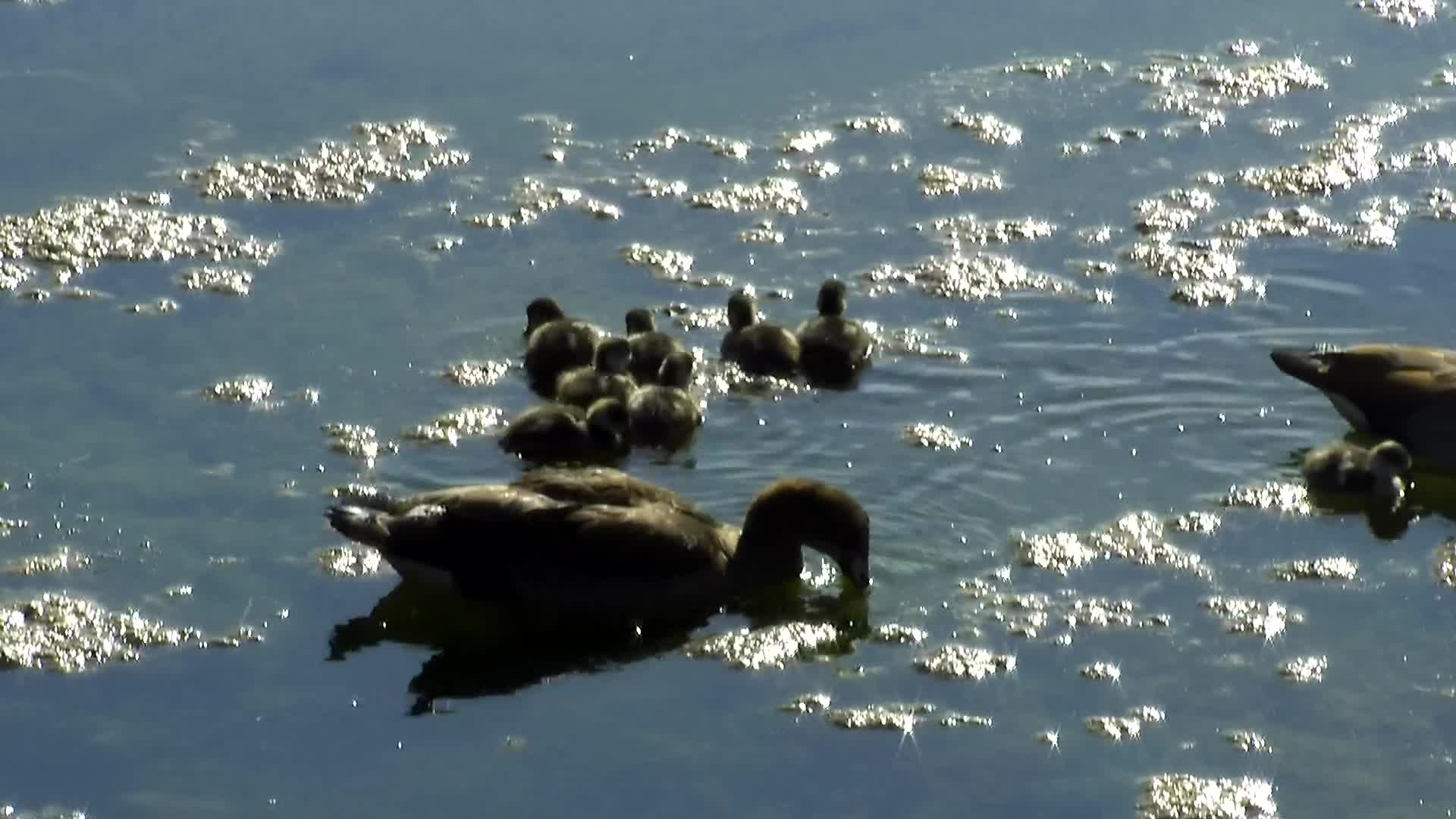VIDEO: New Egyptian Goose chicks take to the water