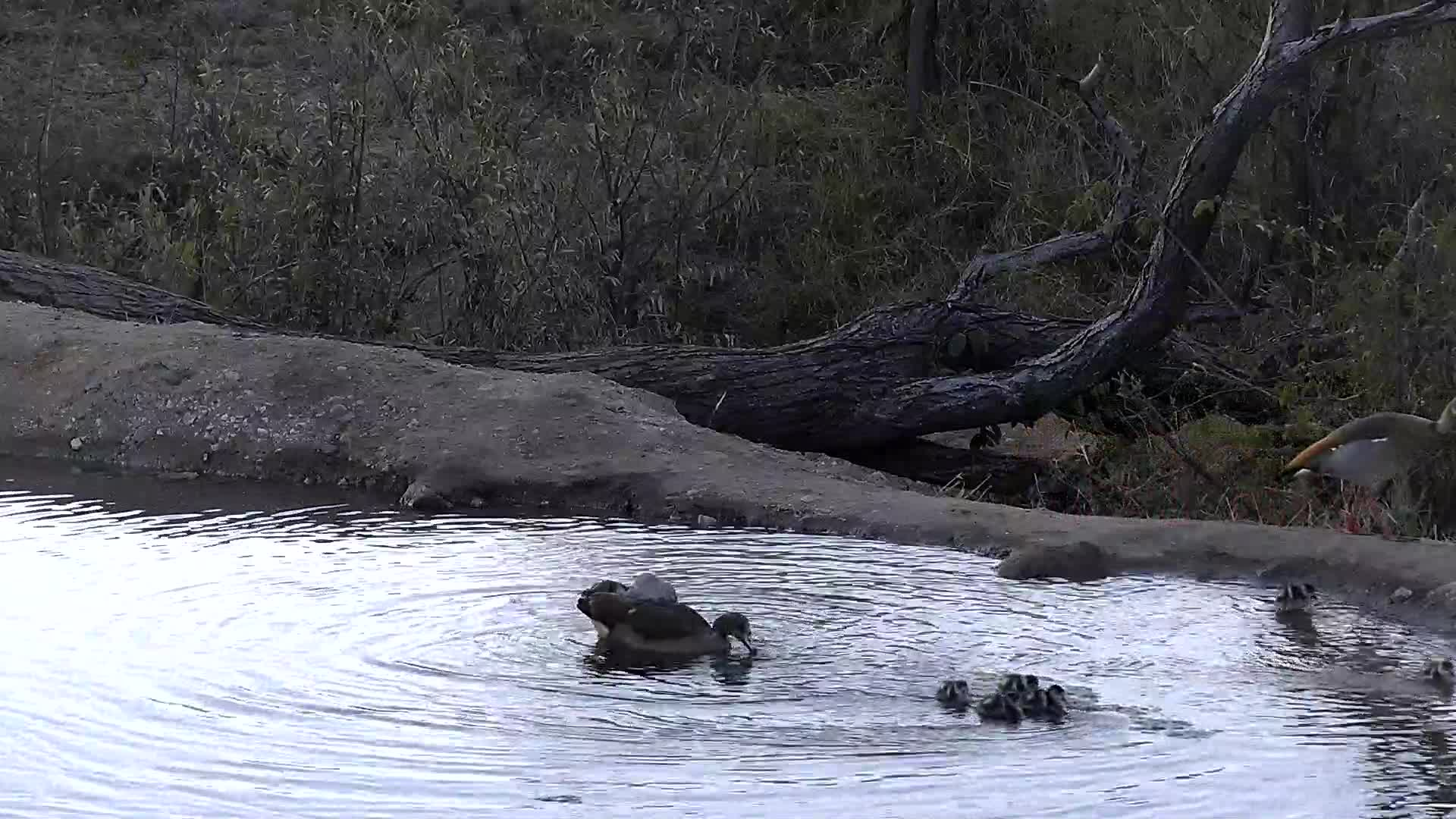 VIDEO:  Egyptian Geese with babies exploring their surroundings