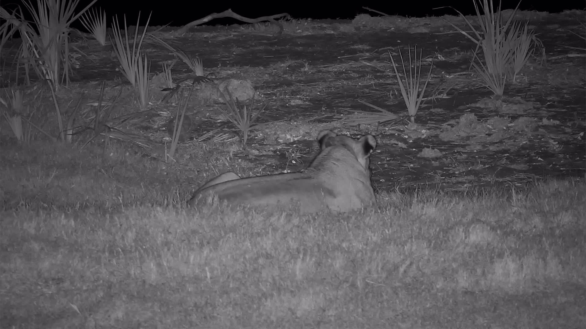 VIDEO: Lion at the waterhole roaring