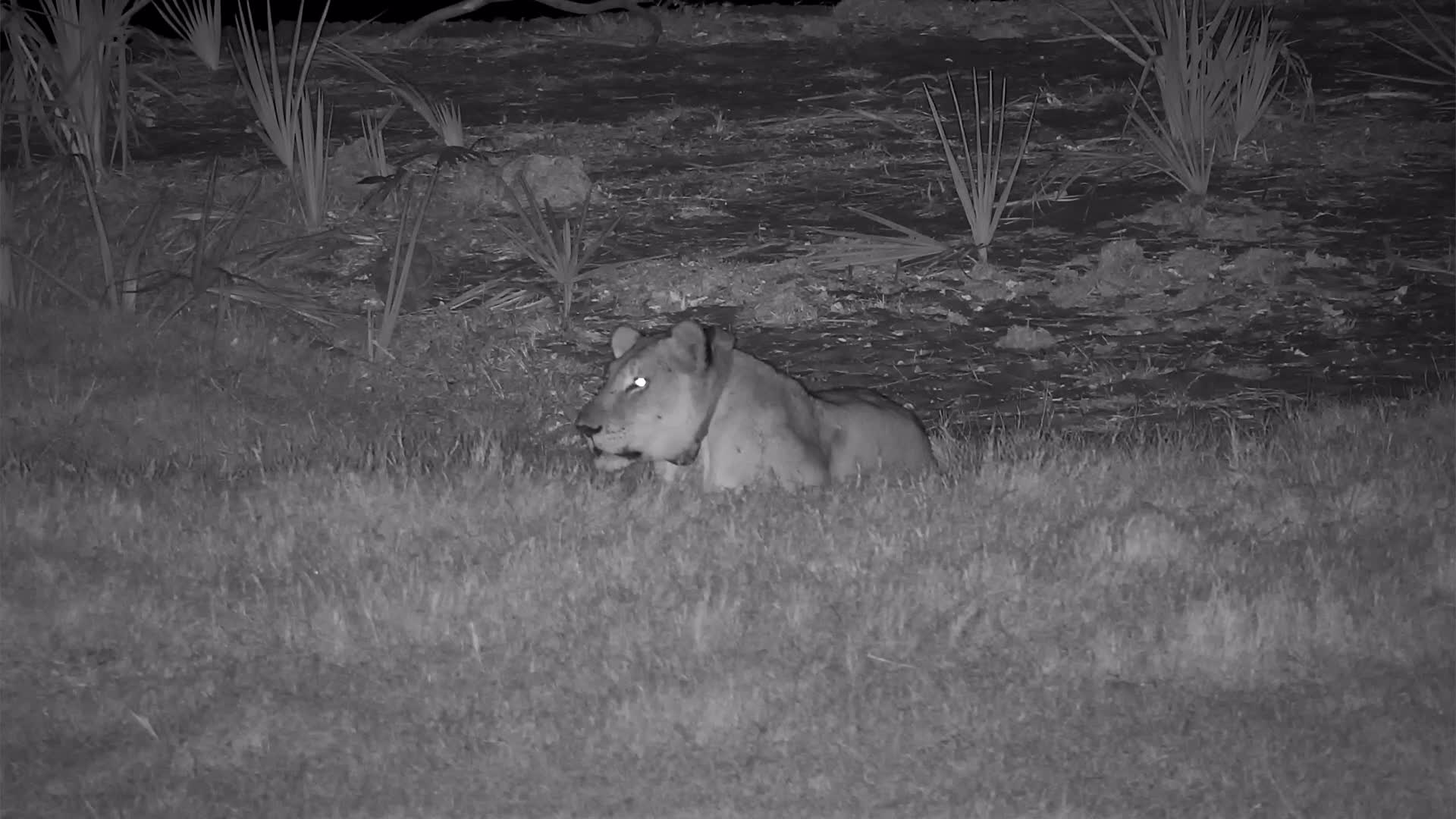 VIDEO: More roars and resting  by the lion