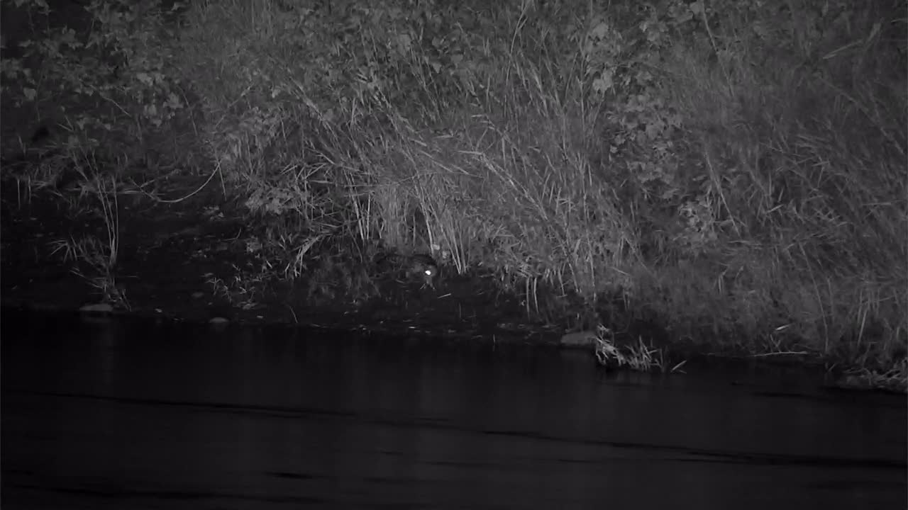 VIDEO:  Large Spotted GENET hunting along the river bank    Part 1 of 2