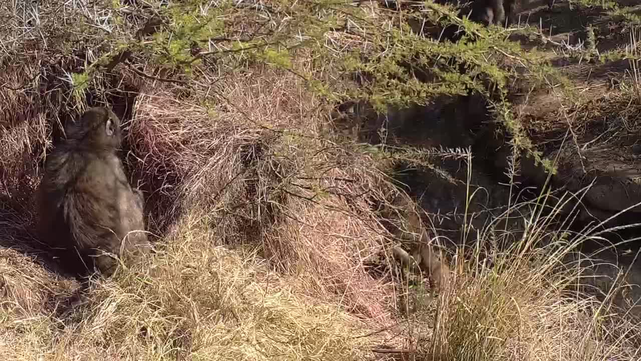 VIDEO: Baboons arriving in the field