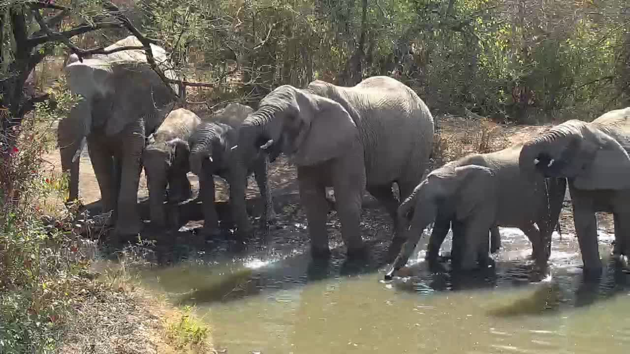 VIDEO: Elephant herd come for a drink