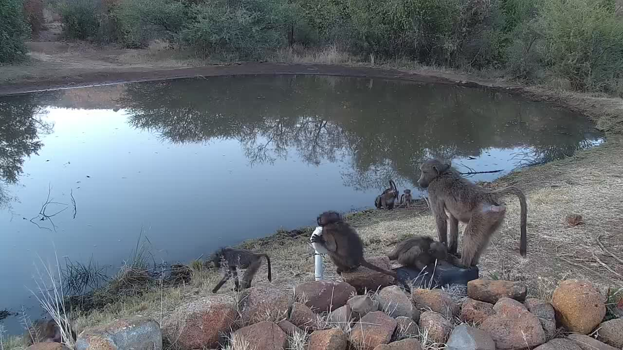 VIDEO: Baboons Playing
