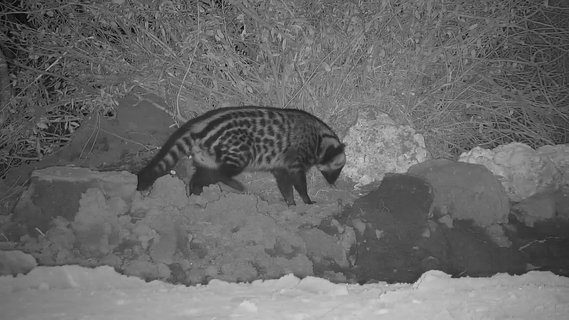 VIDEO: Beautiful civet enjoys music at the pan