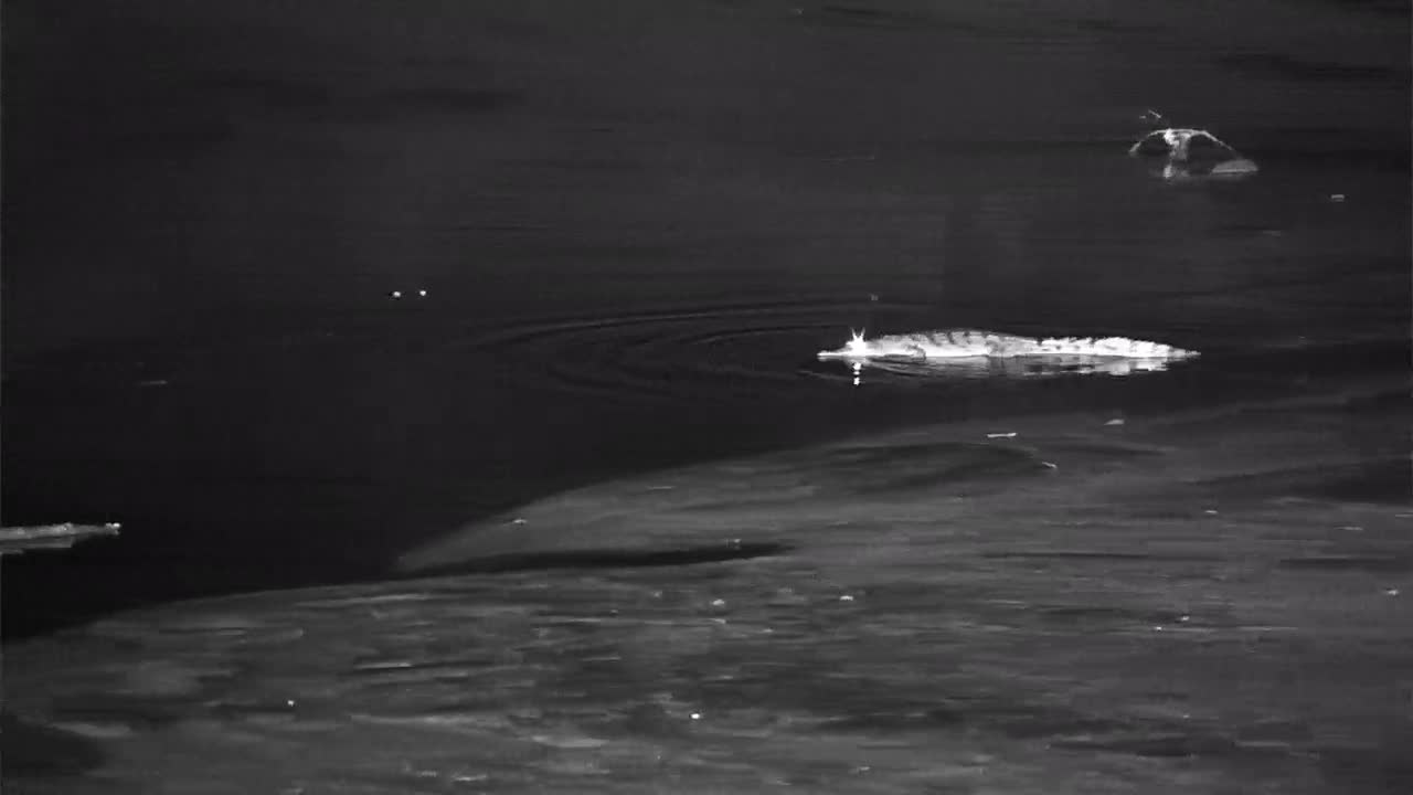VIDEO:  Young CROCODILE on the hunt and moves across the sandbar