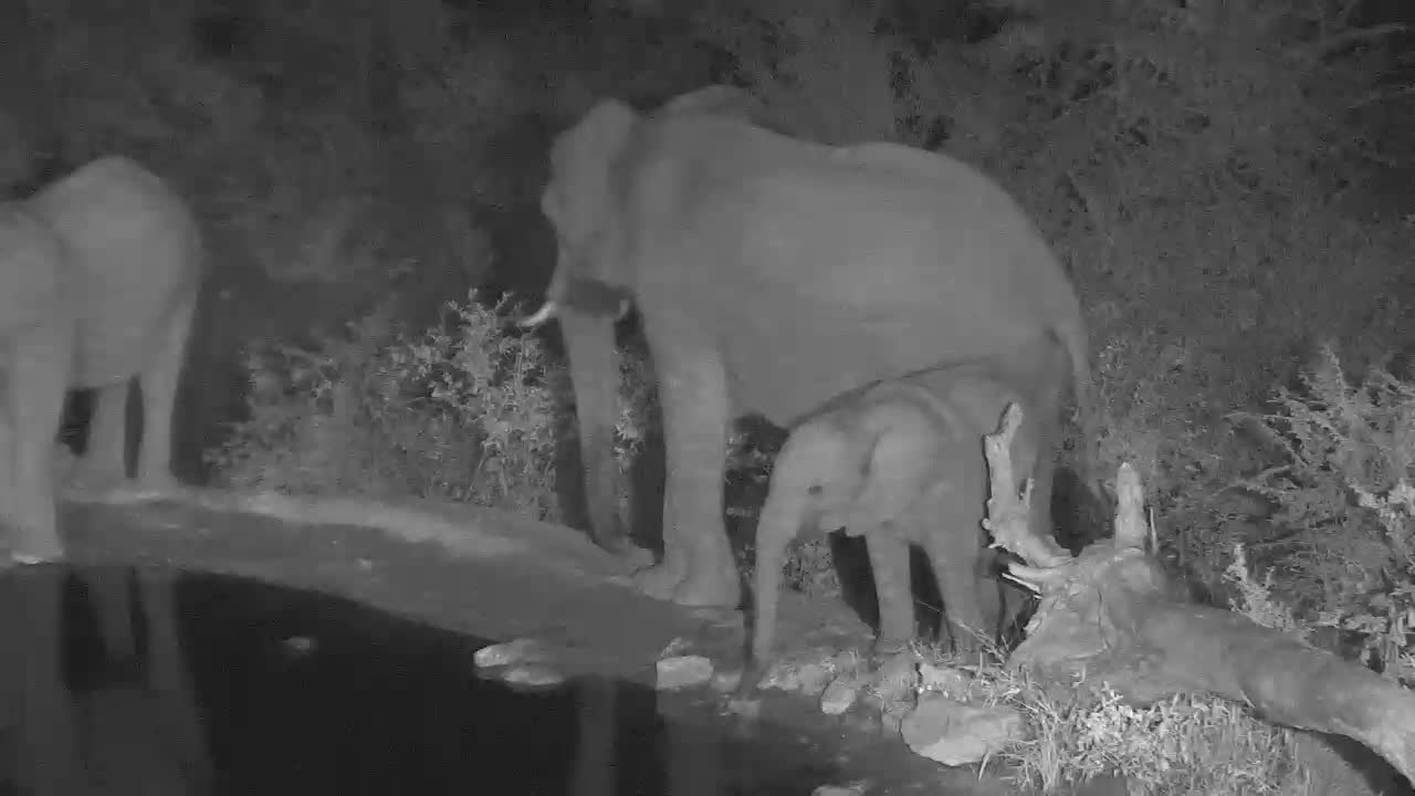 VIDEO: Elephants with young drinking