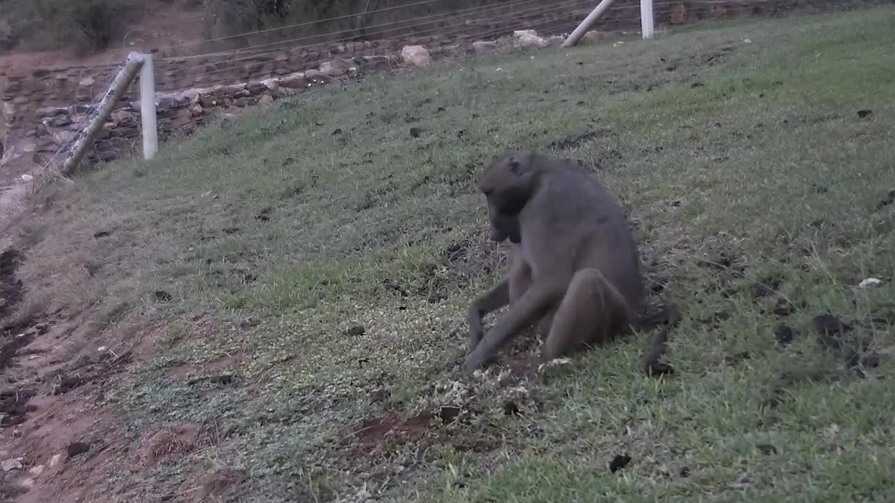 VIDEO: Baboon digging for food
