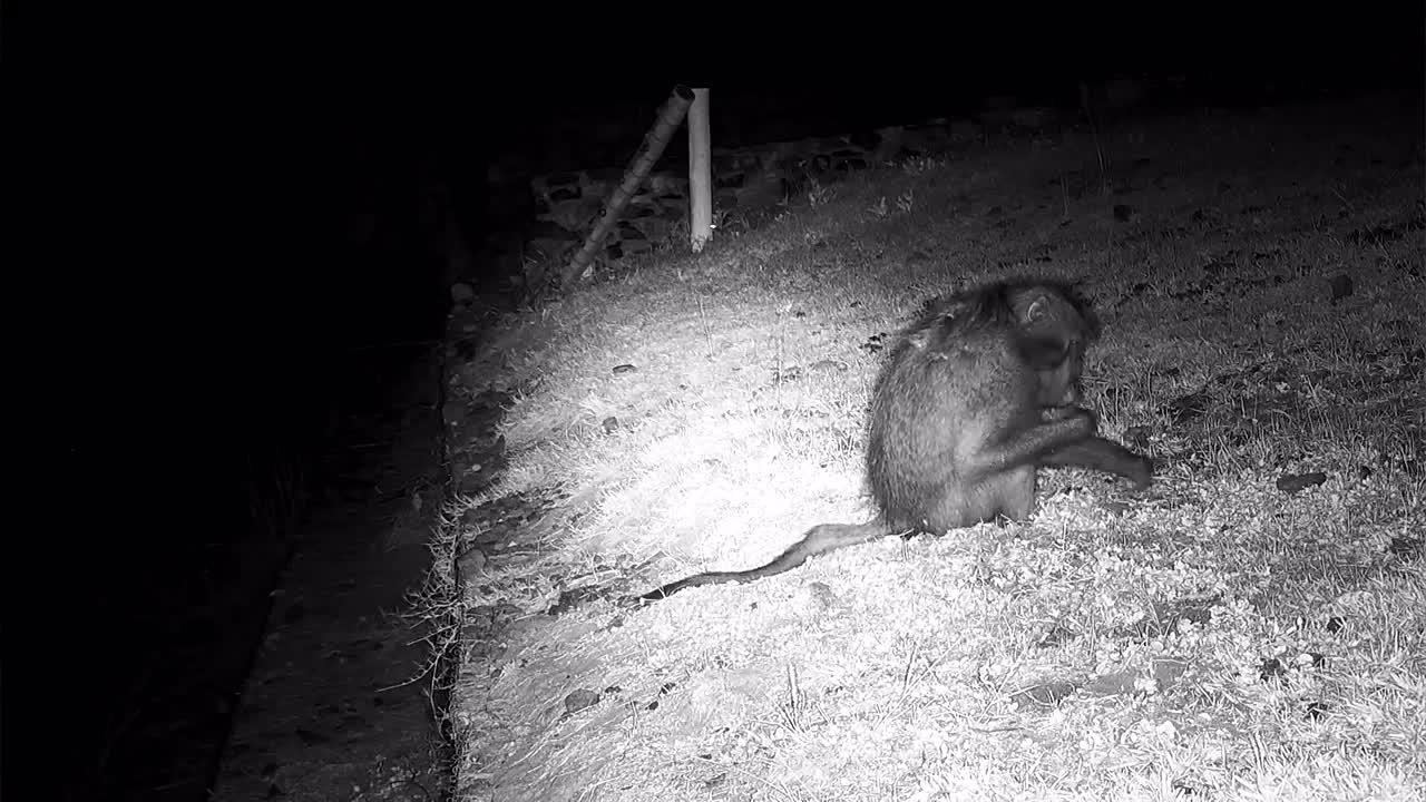 VIDEO: Baboon feeding
