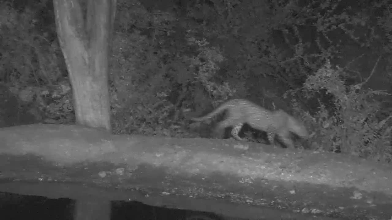 VIDEO:Leopard passing