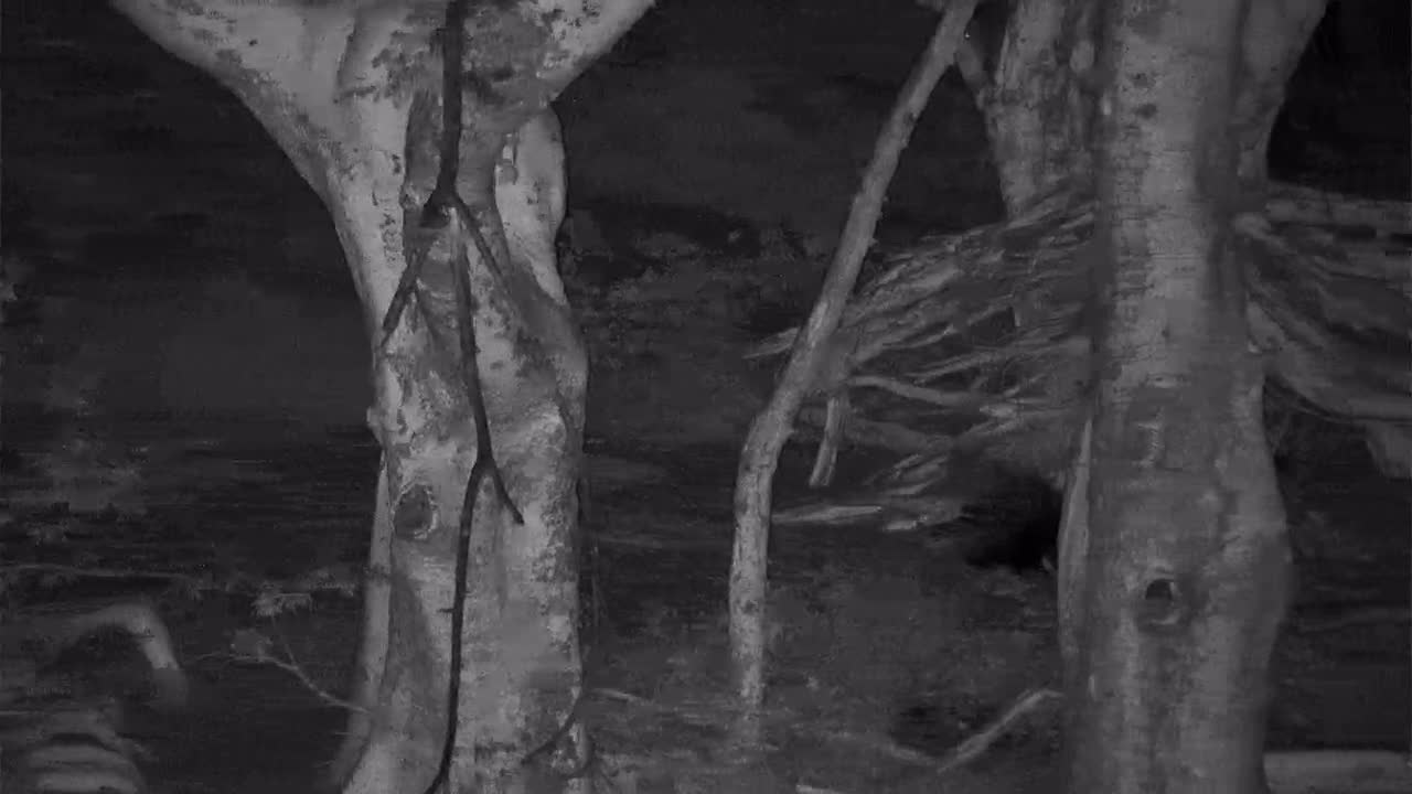 VIDEO:VIDEO: Porcupine Looking For Food Part 2