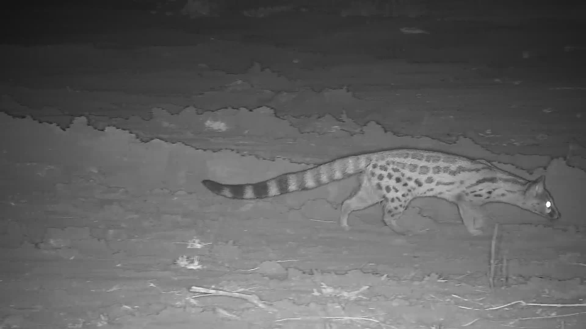 VIDEO:  One-eye Genet on the hunt