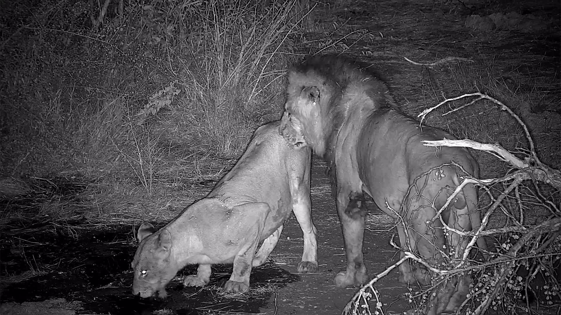 VIDEO: Large Male Lion and Female