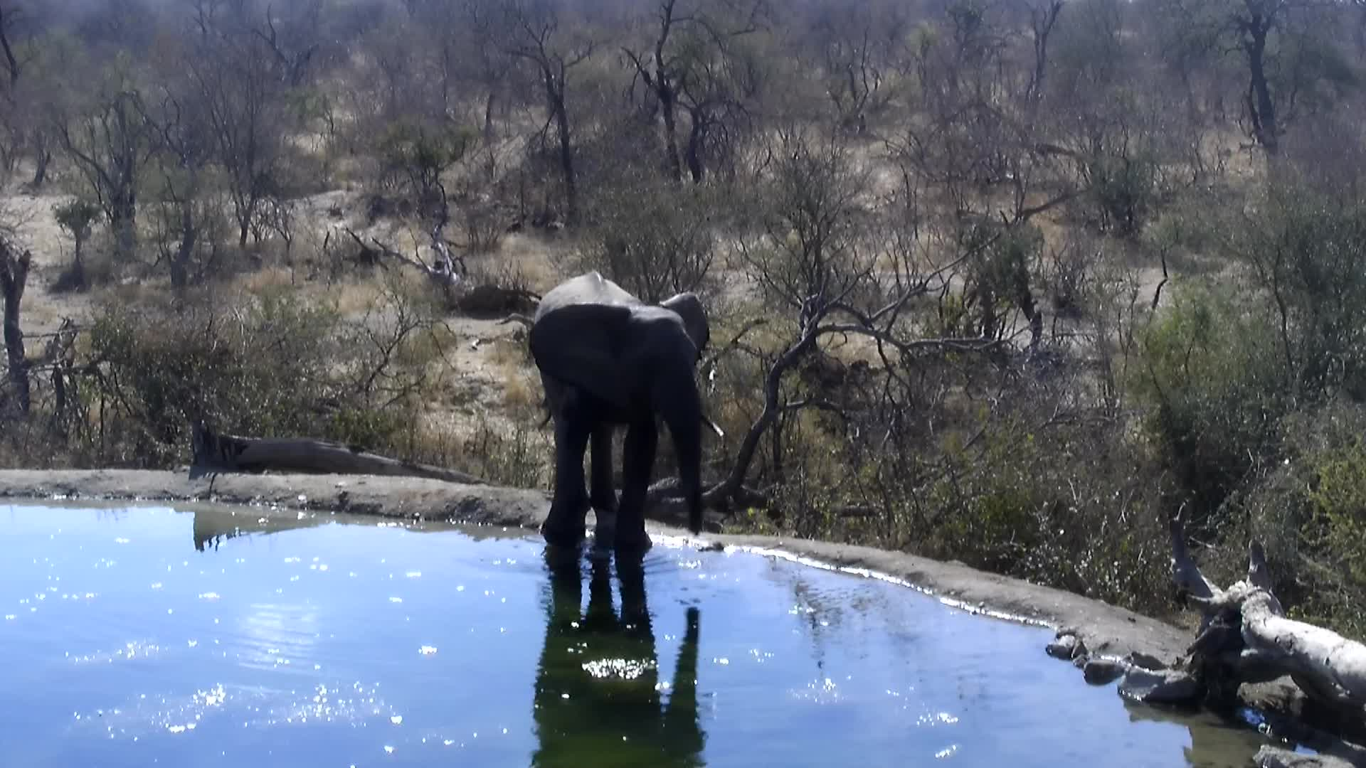 VIDEO: Elephant's reaction to smelling Lions at Rosie's Pan.